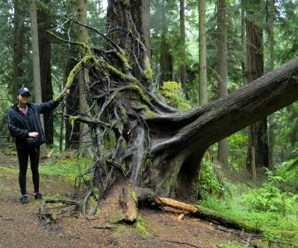 This tree fell over a long time ago. Made for a good photo opp with Veronica, who was dwarfed by the root ball.