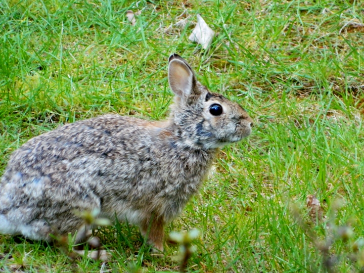 Here is the friendly rabbit we've seen in the backyard. I'm guessing once my plants get to a certain age, it will find a way through my fence and into my front yard.