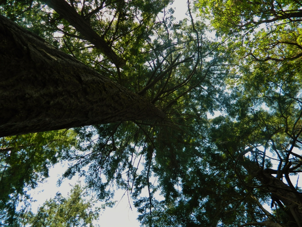 The old growth forest in Point Defiance Park provides many stunning images. Looking toward the sky is just one.