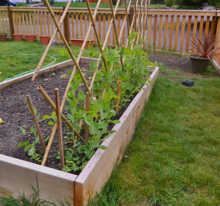 Our peas are growing nicely, even if the cucumbers and zucchinis aren't. Most of the peas are about two-feet tall now.