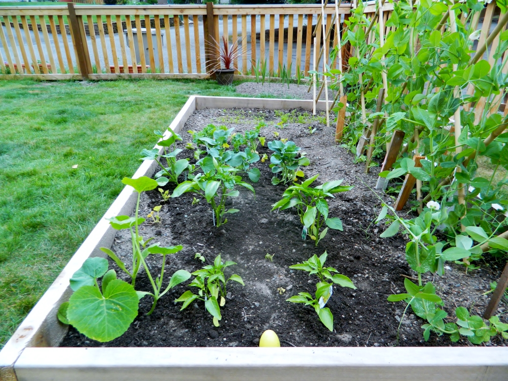 After failing to get our cucumbers and zucchinis to grow, we gave in and bought green and yellow peppers, white and orange pumpkins, kale and broccoli at a local grocery store.