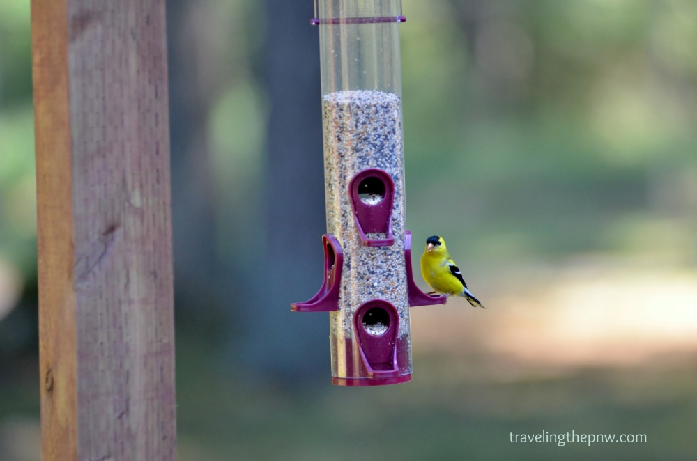 The American Goldfinch is the state bird of Washington. It is a brilliant yellow with distinctive black markings.
