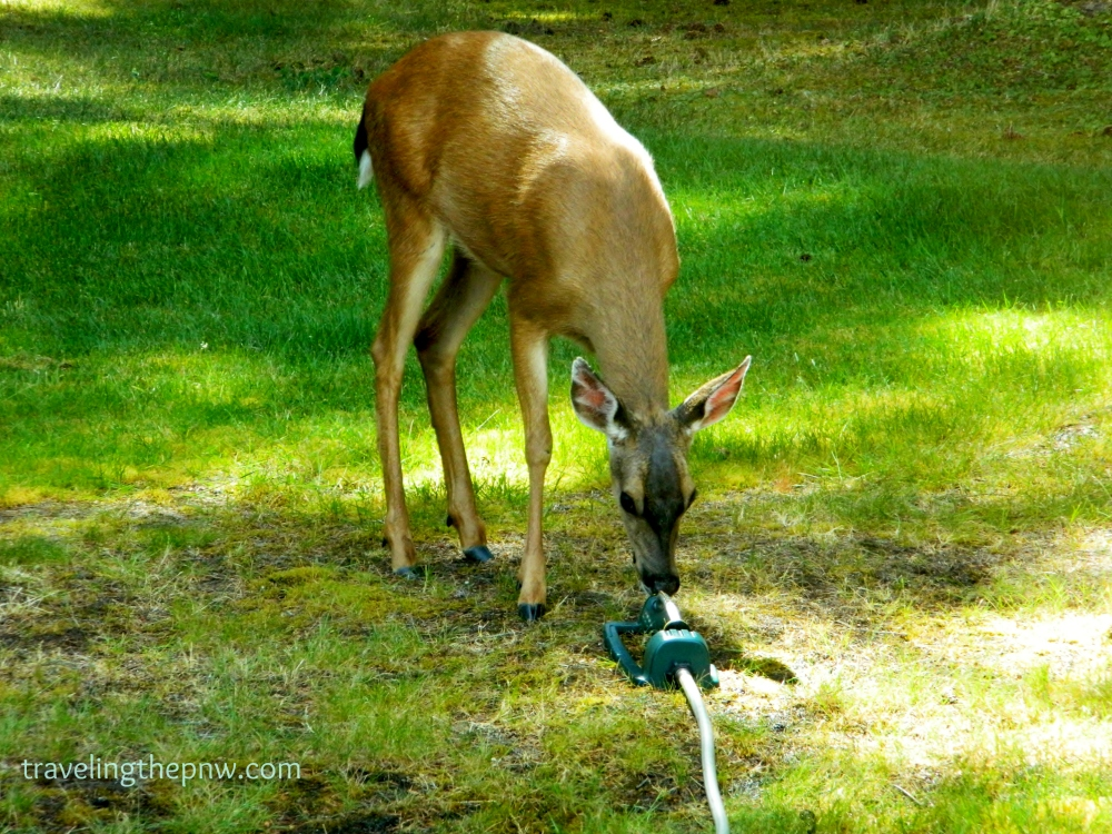 With the drought, it appears more animals have been moving into our neighborhood in search of water. Not much to be had in our sprinkler, however.