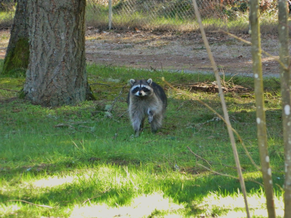 There are two raccoons that live in our neighborhood. I wasn't too fired up to see this one during the day, but it seemed pretty harmless. Normally they are walking around our yard at night.
