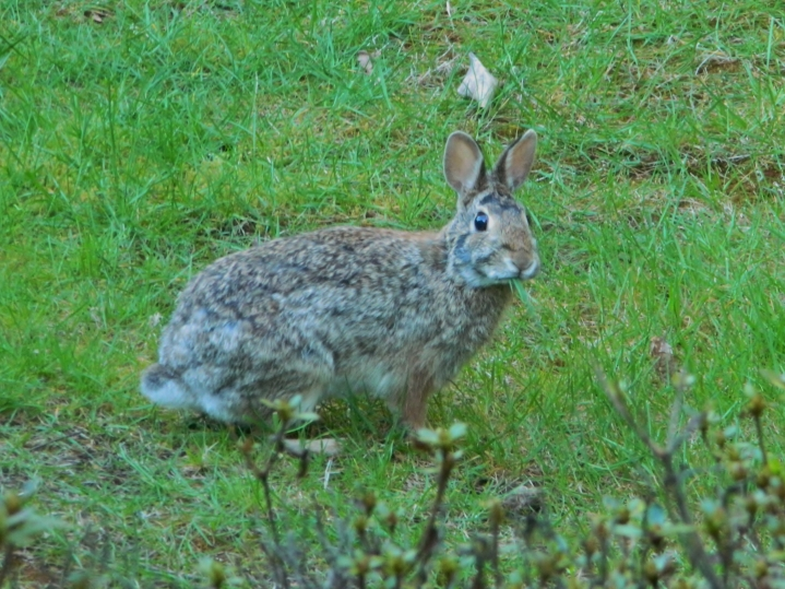 This rabbit eats a lot of grass in our front and backyards. So far, it hasn't eaten anything in my garden that I can tell, but I'm sure it will eventually.