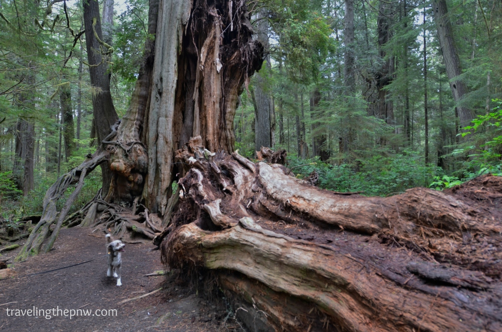 A closer look at the gaping maw from whence the giant piece of the Big Cedar Tree fell off.