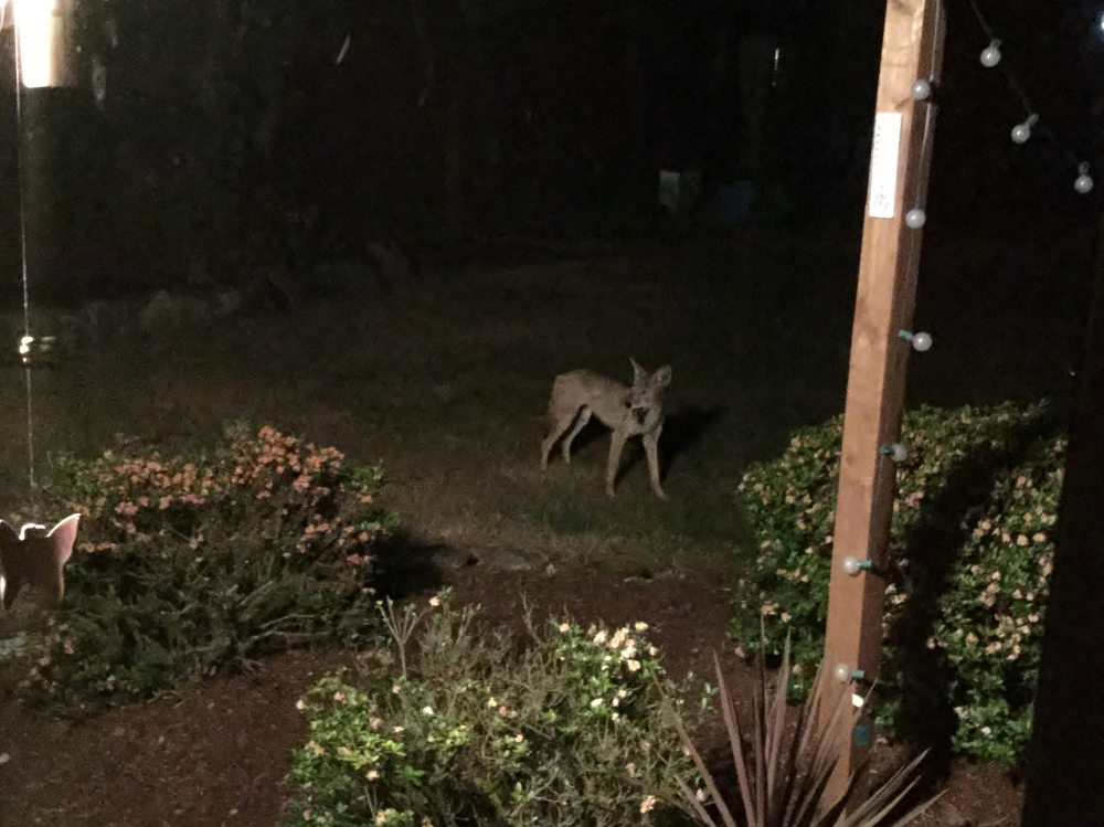 A little coyote action late one night. I was sitting at my table on our computer when I saw movement out of the corner of my eye. Freaked me out a bit.