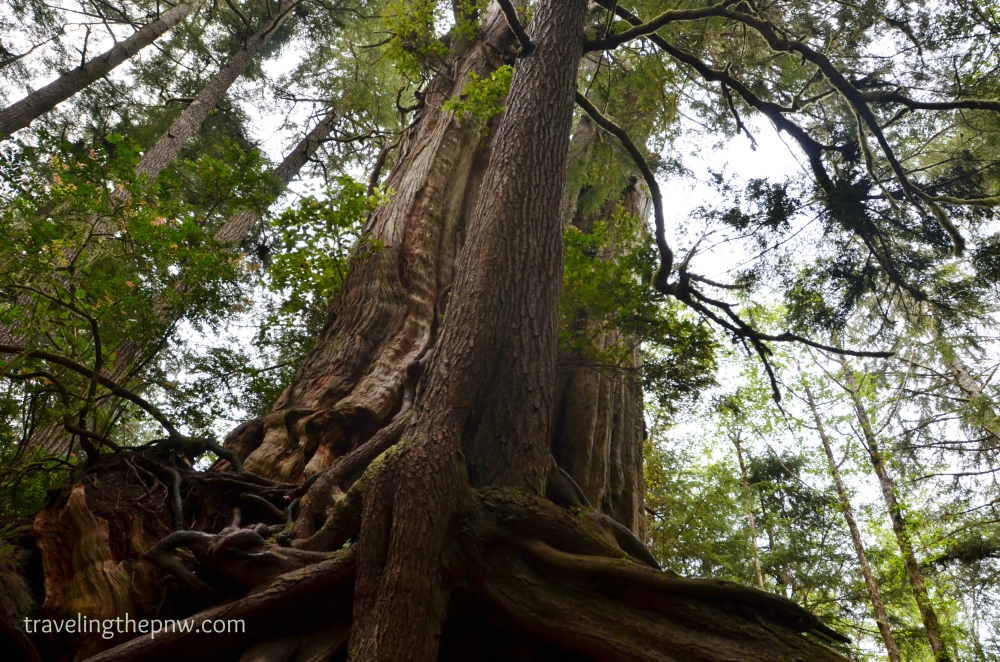 Looking up at the Big Cedar Tree. Makes one feel rather tiny.