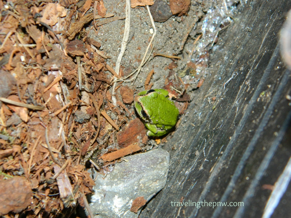 This Pacific tree frog showed up recently in our garden box. He spent most of his time in our sprinkler shutoff valve area.