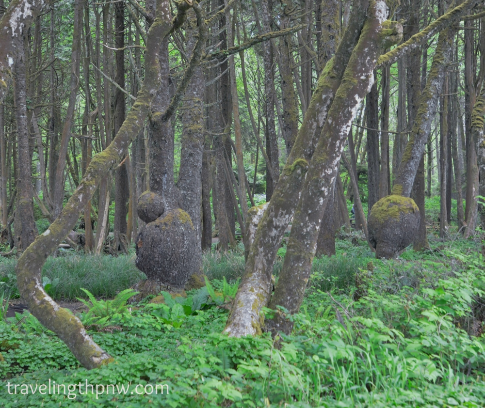 Really cool trees in the Kalaloch Beach campground.
