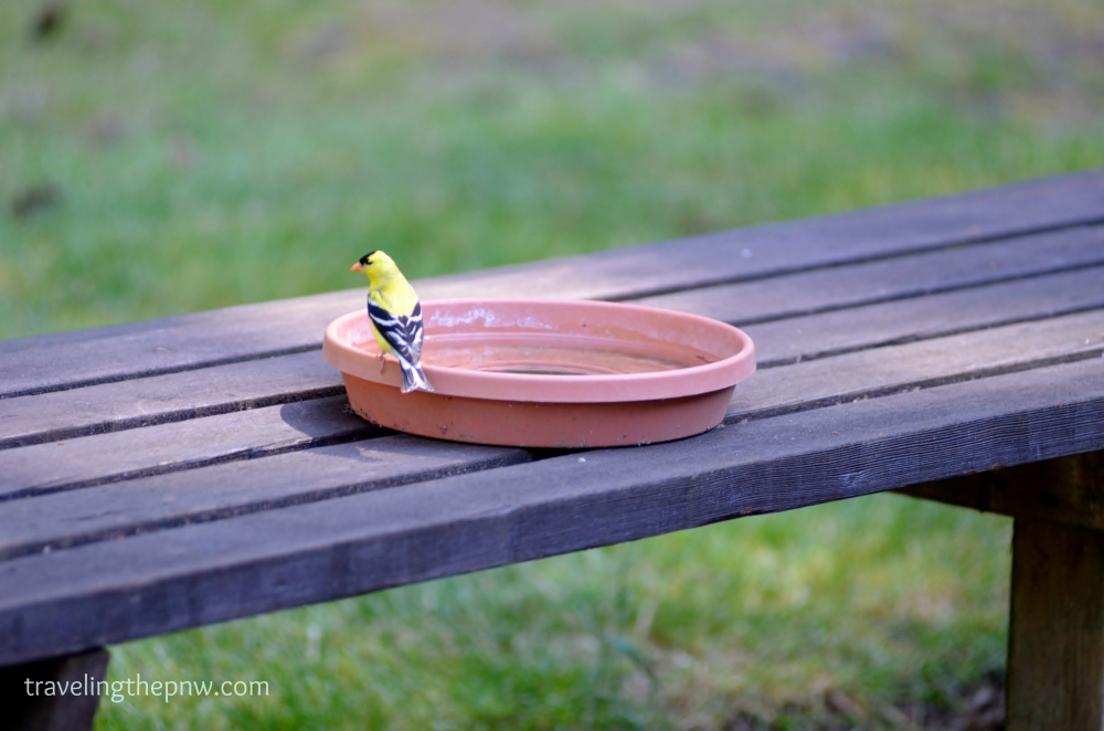 To help the birds in our yard combat the hot weather, we put out these DIY bird baths. They all seem to like them. I love the color on this American Goldfinch.