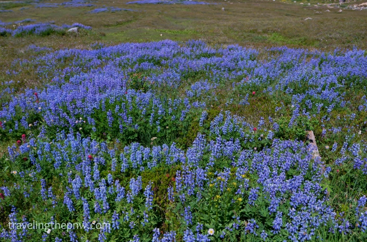 The Broadleaf Lupine flowers were everywhere, giving off a feeling of blue carpet - with some red and yellow flowers mixed in.