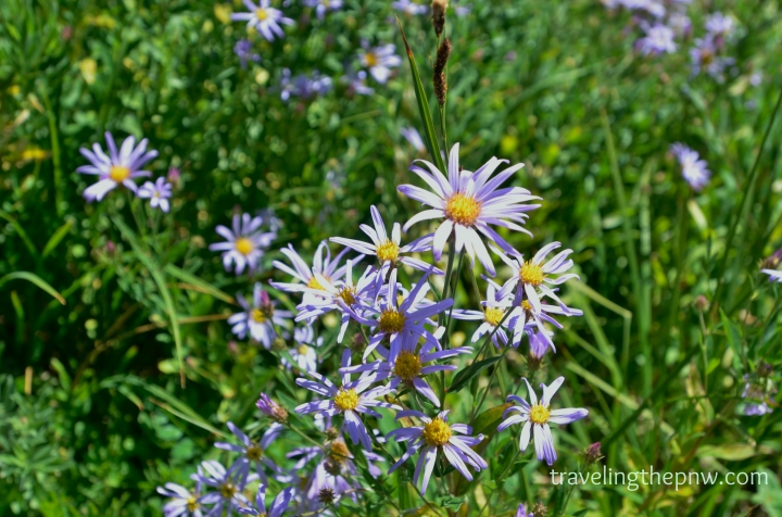 A group of Cascade Aster, growing in the meadows above Paradise in Mt. Rainier National Park.