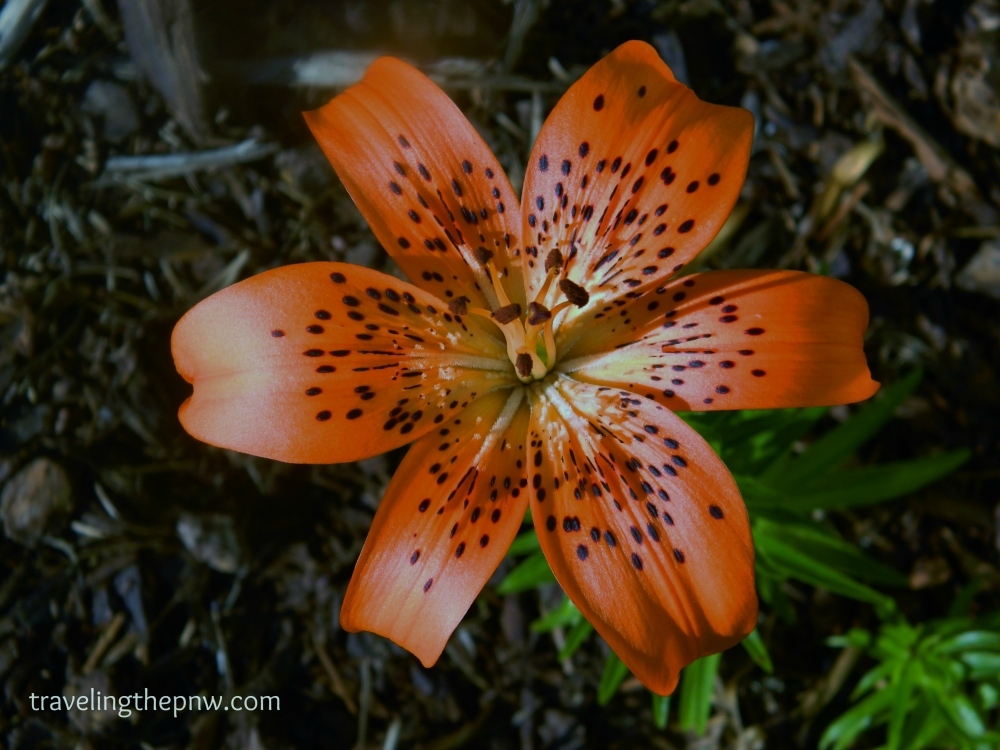 One of the best parts about buying a new house is seeing what plants the previous owners planted. The older guy that lived here before us left us this beautiful Tiger Lily. It is amazing.