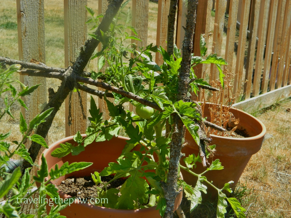 Veronica built these awesome DIY tomato trellis out of fallen branches from the Douglas fir trees in our backyard and some twin from the store. A very creative and cheap way to help support the tomatoes.