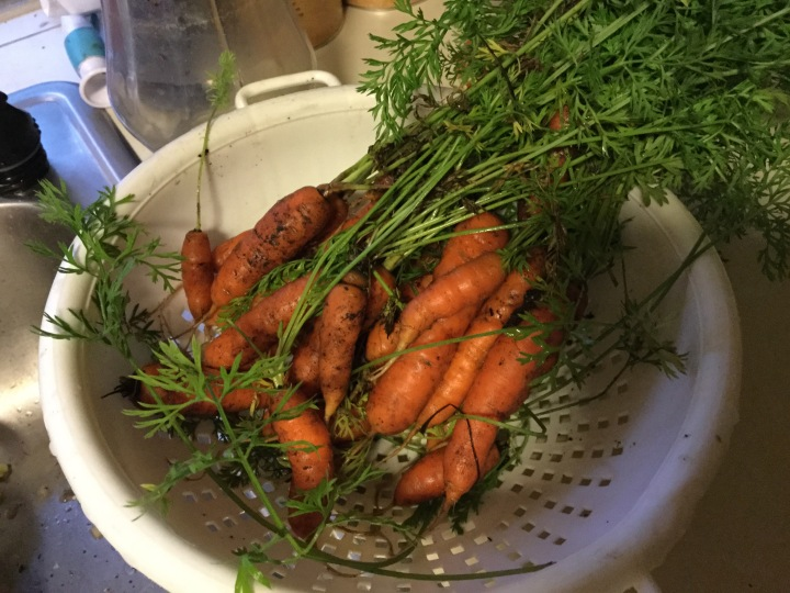 Our carrots are finally starting to pay off. We almost have more than we know what to do with.
