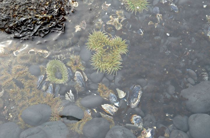Sea anemones were the only tide pool life we saw on our visit to Cobble Beach.