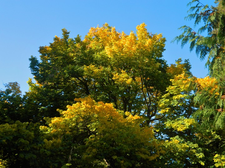 We weren't sure what type of tree this is, but it had glorious yellow color on this early fall day.