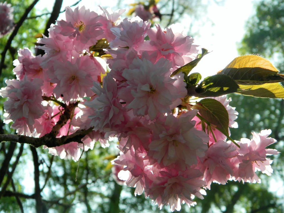 There were so many beautiful cherry blossoms all over the park. Loved it.