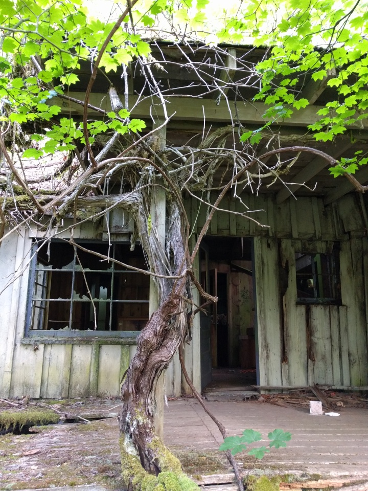 A tree is slowly overtaking the homestead house.