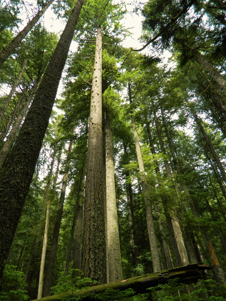 I couldn't get over the immense trees in this area. So enjoyable to just be awe-inspired by them in the forest.
