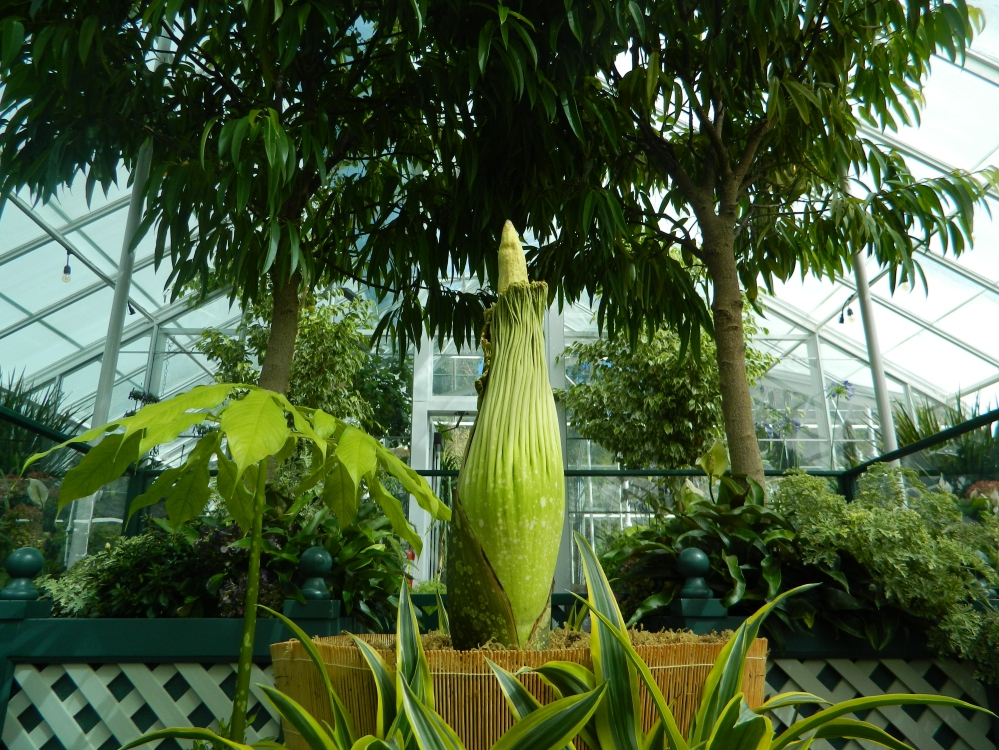 The Corpse Flower, which is not flowering in this picture. This ultra rare plant is stunning to see in person.