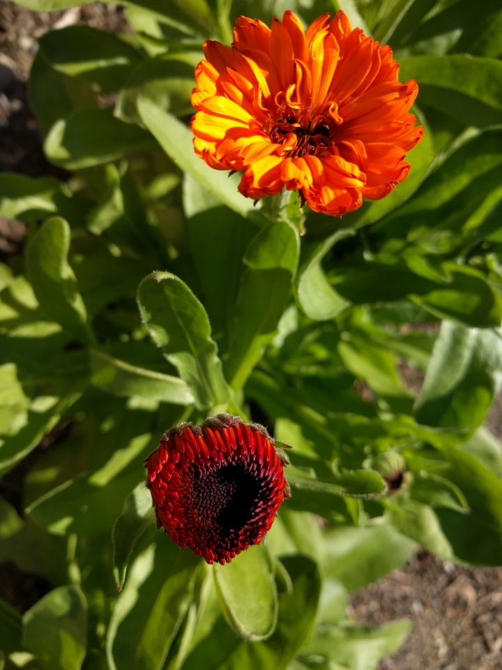 These Mr Majestic Double marigolds have grown like crazy in our yard this summer.