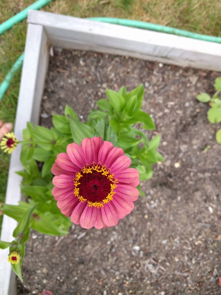 This Zinnia-Queen Red Lime flower is the prettiest flower I've ever grown. Hoping to have more than one bush come up next year.